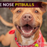 blue nose pitbulls