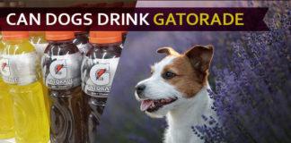 dog drink gatorade
