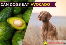 dog eat avocado
