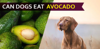 dog eat avocado