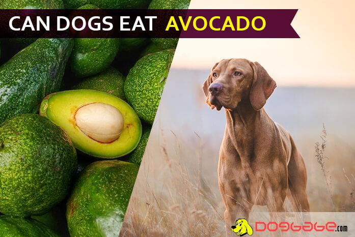 can a dog eat avocado