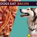 dog eat bacon