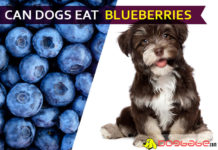 dog eat blueberries