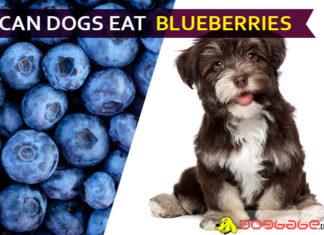 dog eat blueberries