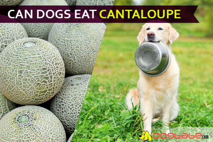 dog eat cantaloupe