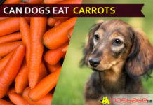 dog eat carrot