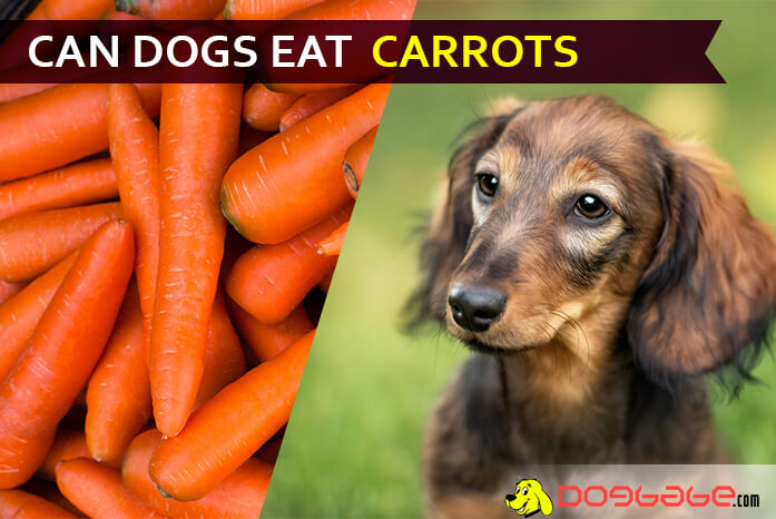 Can Dogs Eat Carrots? Do Not Feed