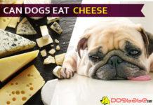 dog eat cheese