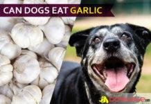 dog eat garlic