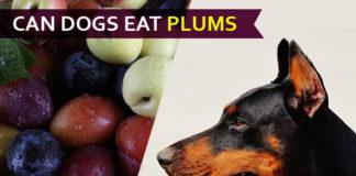 dog eat plum