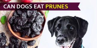 dog eat prune