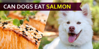 dog eat salmon