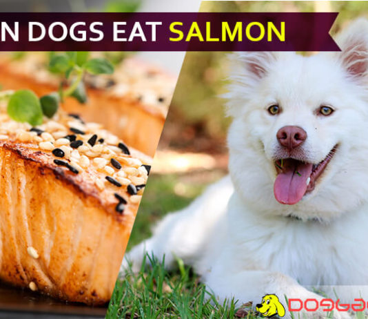 dog eat salmon