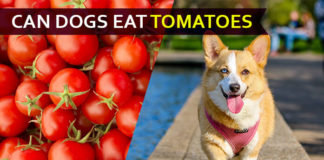 dog eat tomatoe