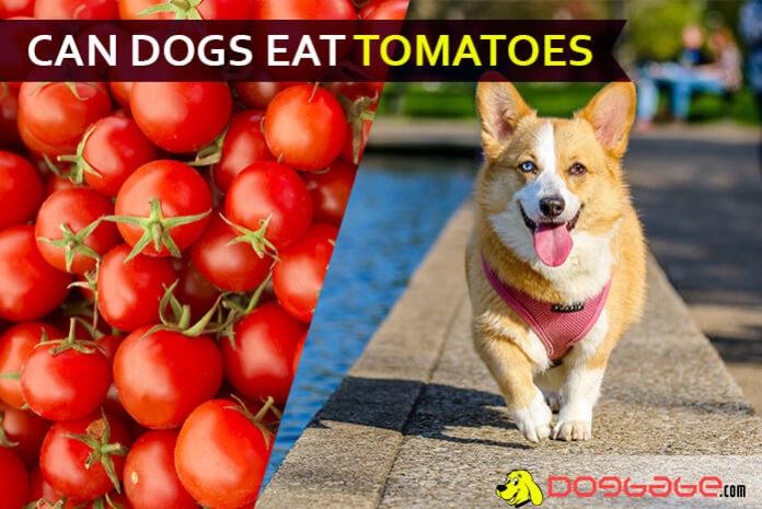 dog eat tomatoe