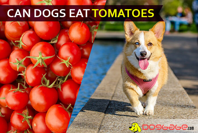 Is Your Dog Fond Of Eating Tomatoes Can Dogs Eat Tomatoes Yes But