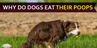 why do dogs eat their poop